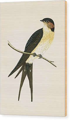 Rufous Swallow Wood Print by English School