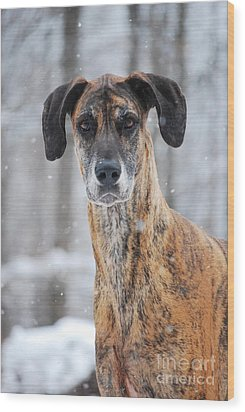Wood Print featuring the photograph Rufus Dagoofus Great Dane by Lila Fisher-Wenzel