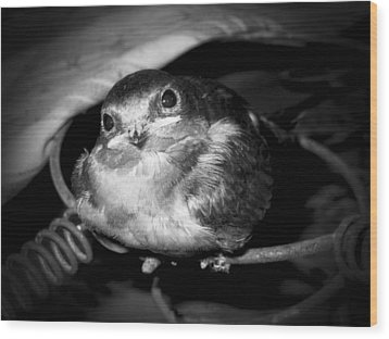 Rusted Perch - Baby Barn Swallow  Wood Print by Christena Stephens