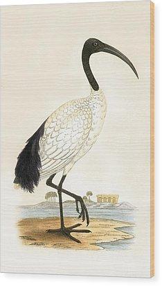 Sacred Ibis Wood Print by English School