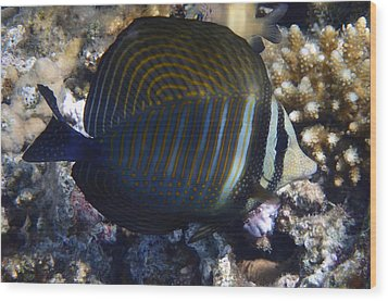 Sailfin Tang  Wood Print