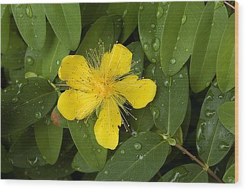 Saint Johns Wort Flower And Foliage Wood Print by Todd Gipstein