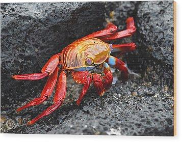 Sally Lightfoot Crab Wood Print by Alan Lenk