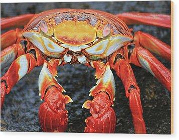 Sally Lightfoot Crab Wood Print by Sue Cullumber