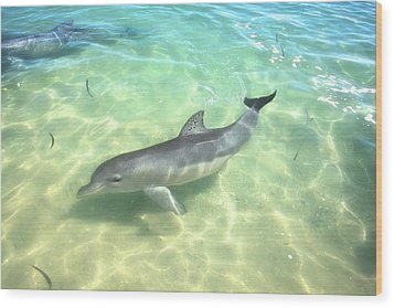 Wood Print featuring the photograph Samu 1 , Monkey Mia, Shark Bay by Dave Catley