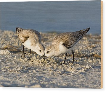 Sanderling Pair Wood Print by Phil Stone
