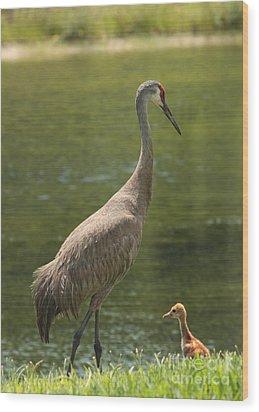 Sandhill Crane With Baby Chick Wood Print by Carol Groenen