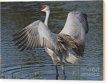 Sandhill Crane Wingstretch Wood Print