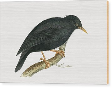 Sardinian Starling Wood Print by English School