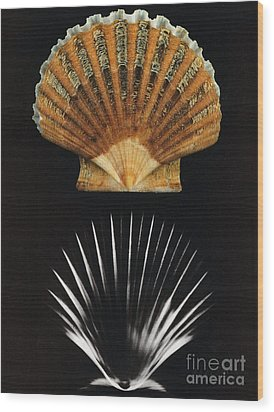 Scallop Shell X-ray Wood Print by Photo Researchers