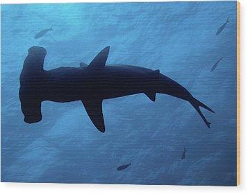 Scalloped Hammerhead Shark Underwater View Wood Print by Sami Sarkis