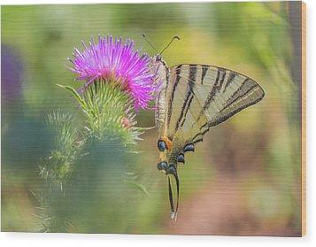 Scarce Swallowtail - Iphiclides Podalirius Wood Print
