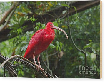 Scarlet Ibis Wood Print by B.G. Thomson