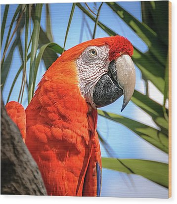 Wood Print featuring the photograph Scarlet Macaw by Steven Sparks