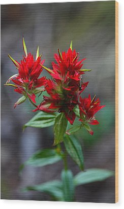 Scarlet Red Indian Paintbrush Wood Print by Karon Melillo DeVega