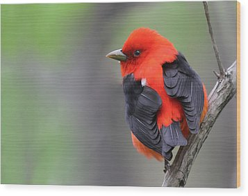 Scarlet Tanager Wood Print by Mircea Costina Photography
