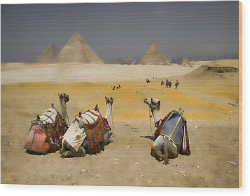 Scenic View Of The Giza Pyramids With Sitting Camels Wood Print by David Smith