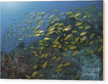 School Of Yellow Snapper, Great Barrier Wood Print by Mathieu Meur