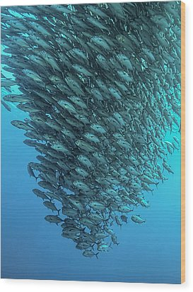 Schooling Jackfishes Wood Print