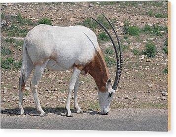 Scimitar Horned Oryx Wood Print