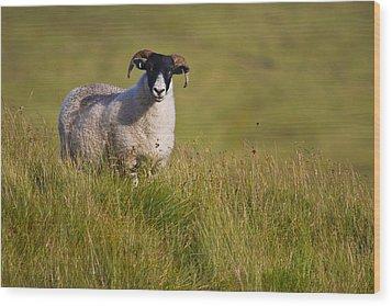 Wood Print featuring the photograph Scottish Blackface Sheep On Green Field by Gabor Pozsgai