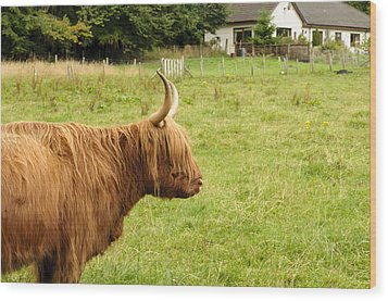 Wood Print featuring the photograph Scottish Cattle Farm by Christi Kraft