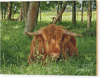 Wood Print featuring the photograph Scottish Higland Cow by Patricia Hofmeester