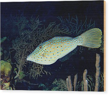 Wood Print featuring the photograph Scrawled Filefish by Jean Noren