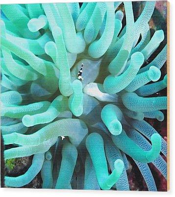 Sea Anemone And Squat Shrimp Wood Print