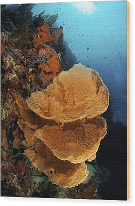 Sea Fan Coral - Indonesia Wood Print by Steve Rosenberg - Printscapes