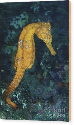 Sea Horse Underwater View Wood Print by Sami Sarkis