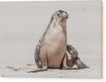 Sea Lion 1 Wood Print by Werner Padarin