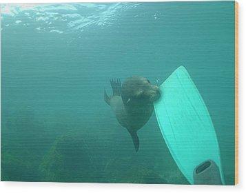 Sea Lion Biting A Diver Flipper Wood Print by Sami Sarkis