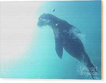 Sea Lion Swimming Underwater  Wood Print by Sami Sarkis