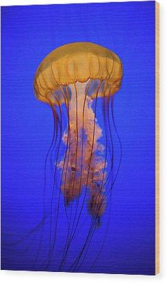 Sea Nettle Jellyfish (chrysaora Quinquecirrha) In An Aquarium Wood Print by Patrick Strattner