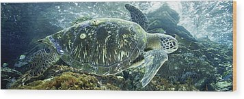 Sea Of Cortez Green Turtle Wood Print