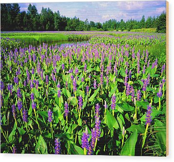 Sea Of Pickerelweed Wood Print