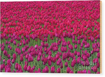 Sea Of Tulips Wood Print by Mike  Dawson
