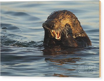 Sea Otter With A Toothache Wood Print by Max Allen