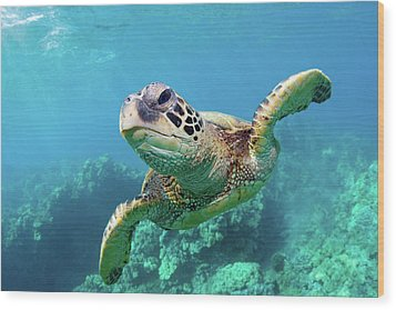 Sea Turtle, Hawaii Wood Print by Monica and Michael Sweet
