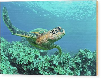 Sea Turtle In Coral, Hawaii Wood Print by M Sweet