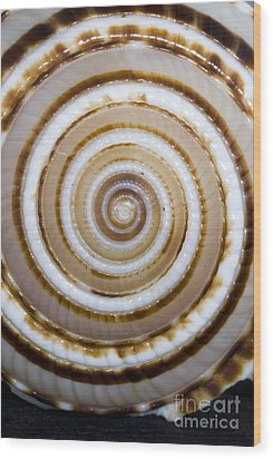 Seashell Spirals Wood Print by Bill Brennan - Printscapes