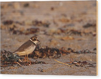 Wood Print featuring the photograph Semipalmated Plover by Juergen Roth