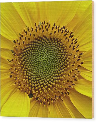 Wood Print featuring the photograph September Sunflower by Richard Cummings