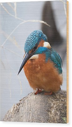Serious Kingfisher Wood Print