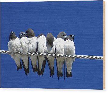 Seven Swallows Sitting Wood Print by Holly Kempe
