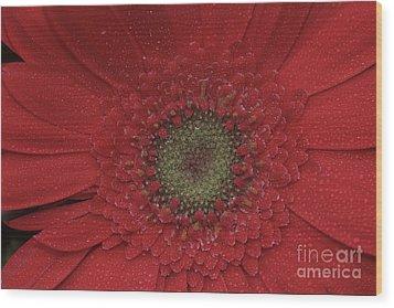 Shasta Daisy Macro Wood Print