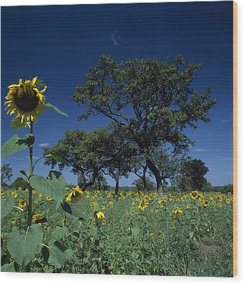 Shea Trees Intercropped With Sunflowers Wood Print by David Pluth