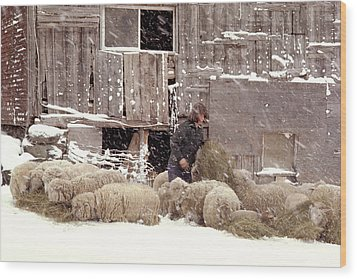 Sheep In Underhill Vermont. Wood Print