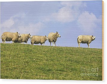 Sheep On Dyke Wood Print by Patricia Hofmeester